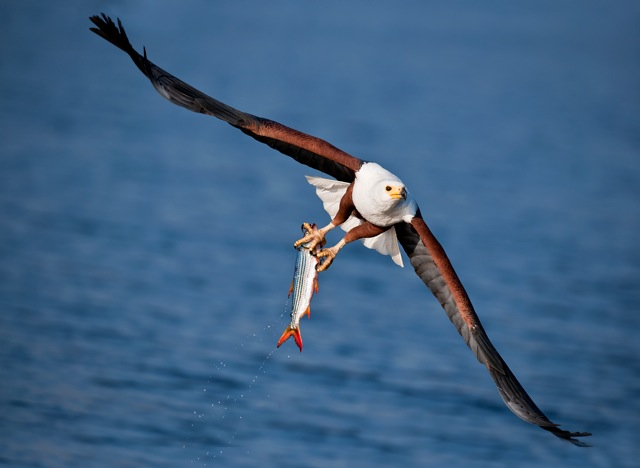 Fish Eagle by Peter McKellar