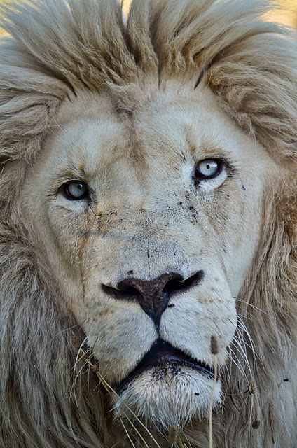 Male White Lion by Pierre Steenkamp