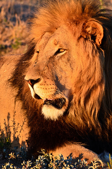Male Lion by Pierre Steenkamp