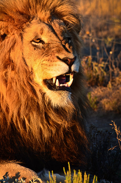 Male Lion a bit agitated by Pierre Steenkamp