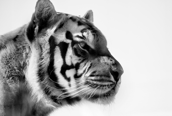 The Great Tiger by Pierre Steenkamp
