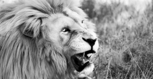 white_lion_featured
